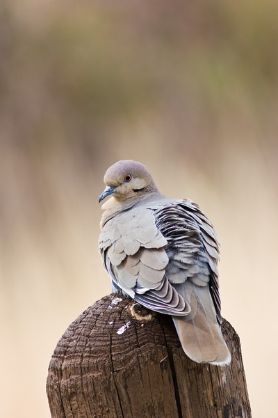 White-winged Dove,<br /> Zenaida asiatica,<br /> at Chisos Basis in Big Bend National Park