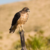 Swainson's Hawk, Buteo swainsoni, on a fence post, along a road in the Davis Mountains in Southwest Texas. Breeding habitat for the Swainson's hawk is generally prairie and dry grasslands in western North America.