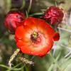 Claret Cup Cactus<br /> Echinocereus triglochidiatus<br /> Cactaceae family, taken at Judge Roy Bean park at Langtry, TX