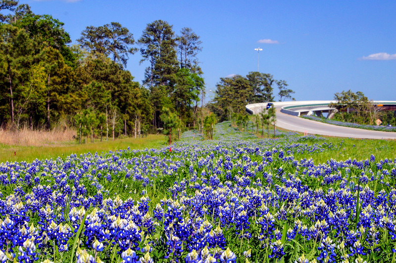Texas Bluebonnet, Lupinus texensis (Fabaceae)