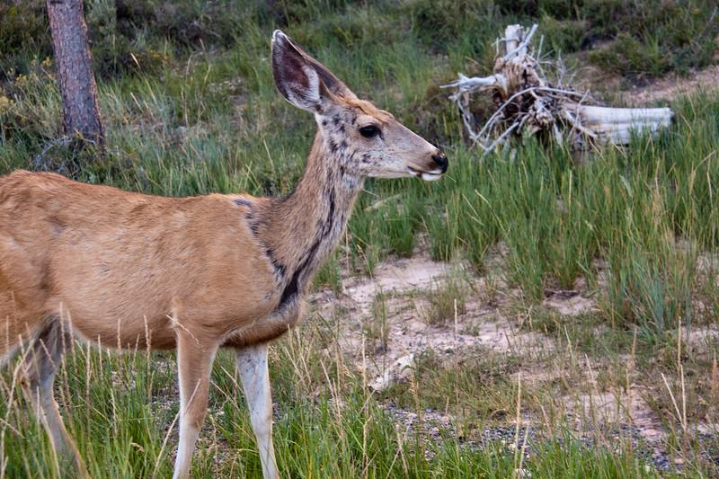 Mule Deer, Odocoileus hemionus, in Bryce Canyon National Park in Utah. Mule deer are primarily found in the western part of North America.