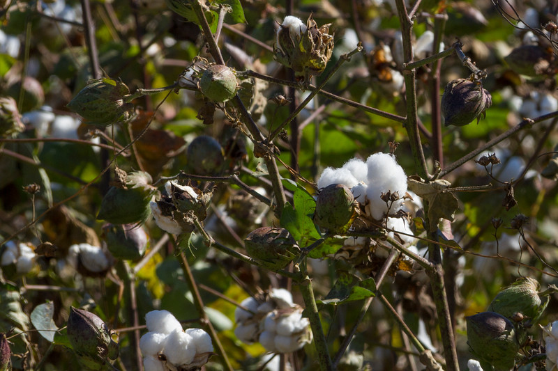 Cotton fields at Shirley Plantation in Virginia.