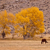 Remnants of autumn color in late October, with horse grazing on ranch land in central Wyoming.