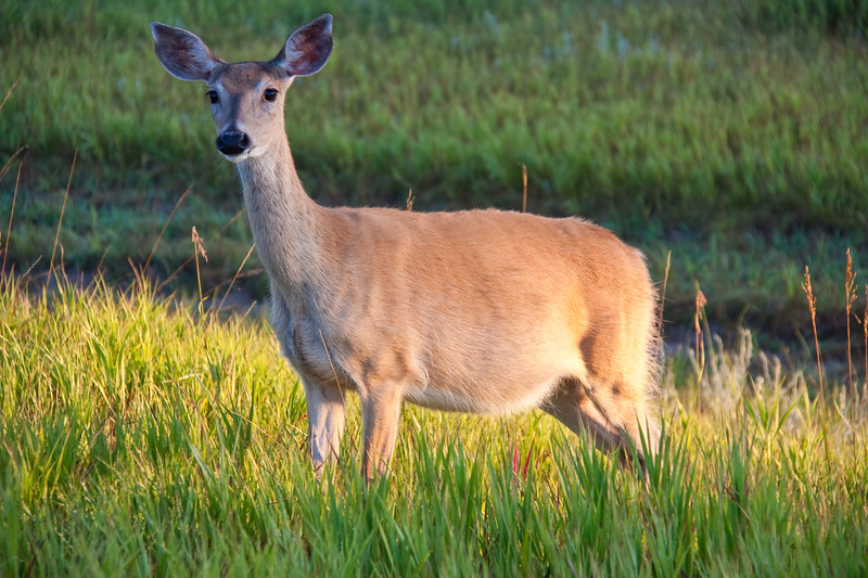 White-tailed Deer, Odocoileus virginianus, in early morning light in Devil's Tower National Monument in Wyoming.