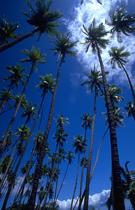 Palm Trees at Kaluapapa Leper Colony