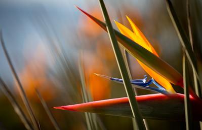 Bird of Paradise, Encinitas, California