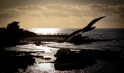 Seagull at sunset over the La Jolla Cove