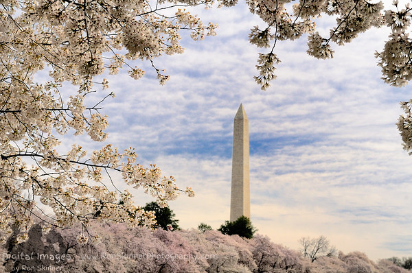 Washington Monument - Cherry Blossoms
