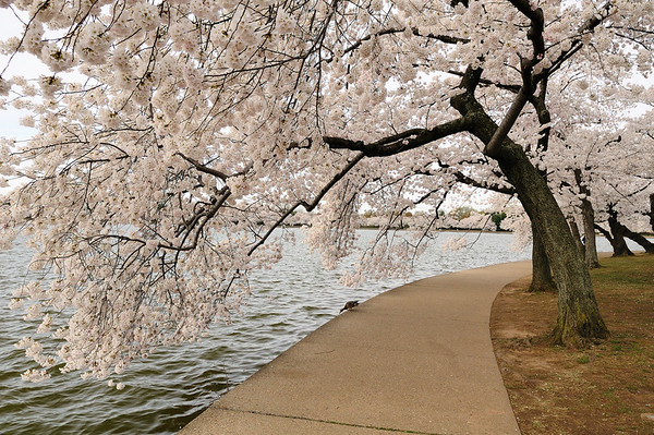Walkway around the Tidal Basin