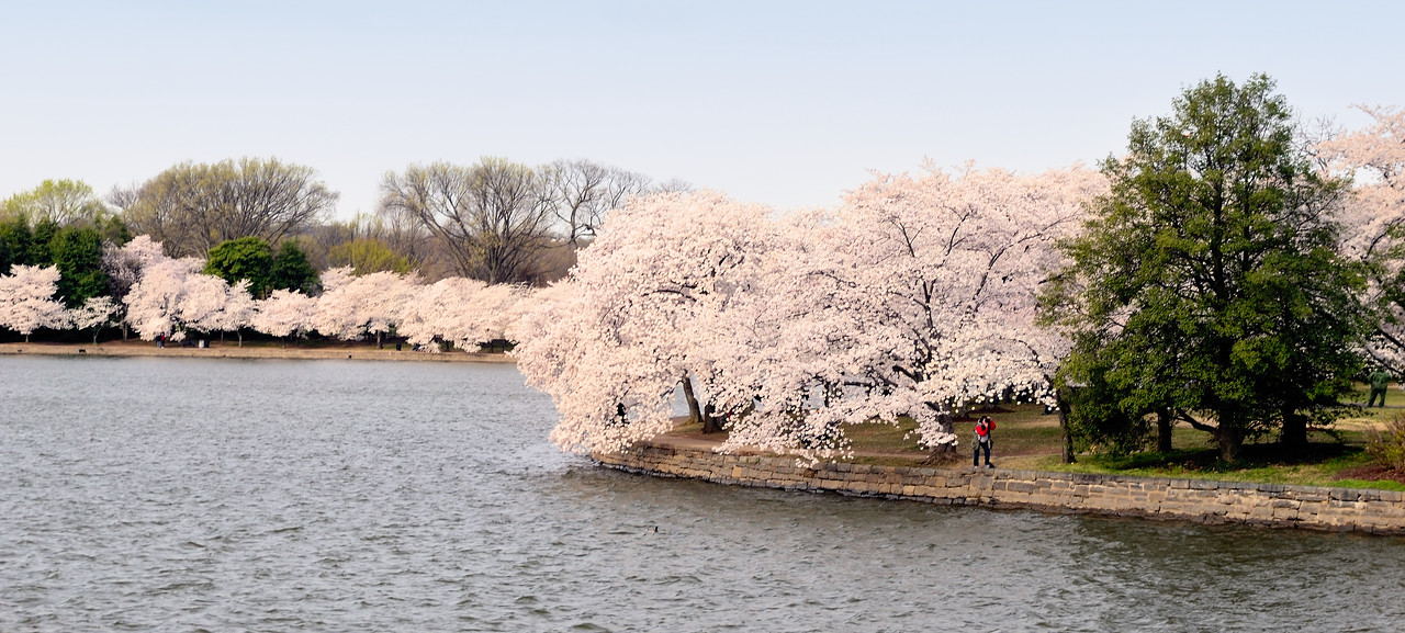 Dona and the Cherry Blossoms