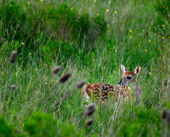 Bambi - Canaan Valley, West Virginia