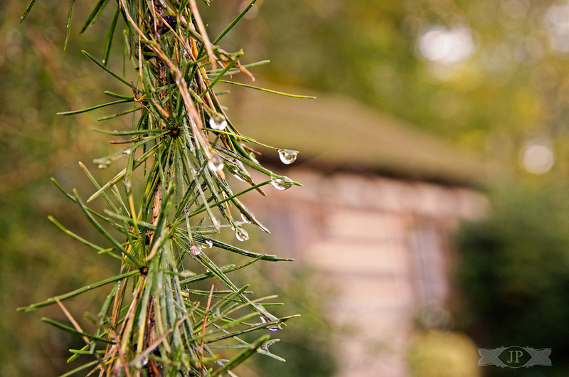 Morning Dew on the Pines