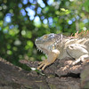 Iguana in Costa Rica jungle