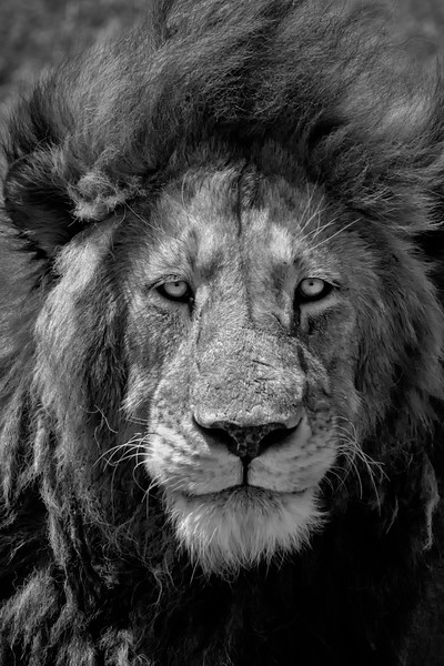 Portrait session with a lion - Ngorongoro National Park