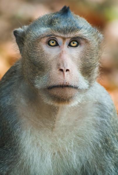 Monkey of Ankor