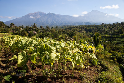 Tobacco plantations