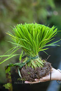Young riceplant