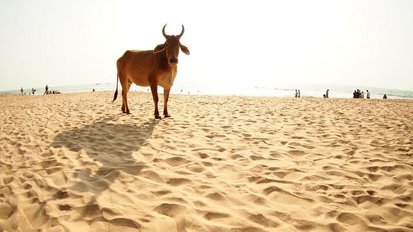 Cows on the Beach - GOA, India