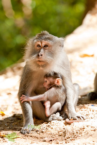 Macaque with young