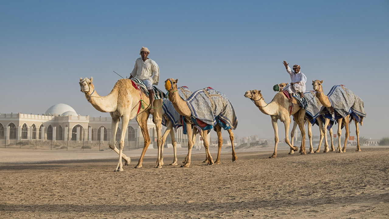 Walking the camels, Dubai