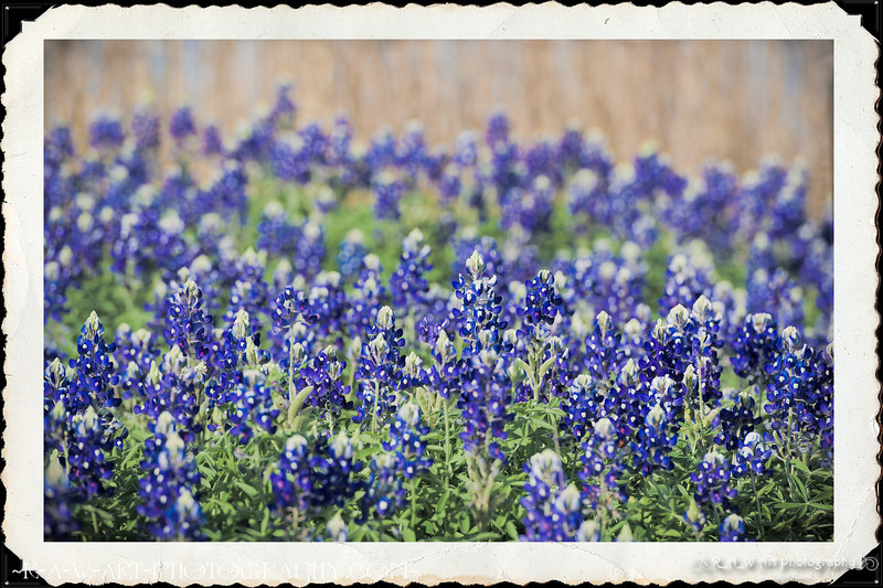 Texas Bluebonnets-1
