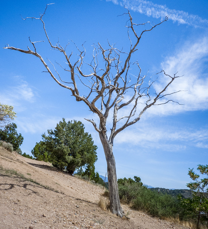 Desiccated Tree