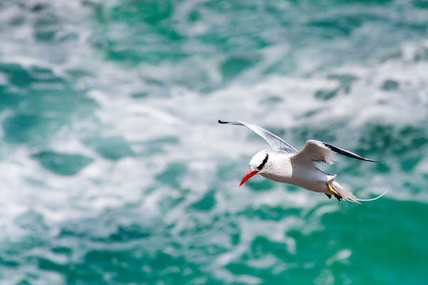 Red-Billed Tropicbird, Isla De La Plata, Ecuador