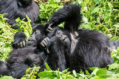 Rwanda Juvenile Mountain Gorillas