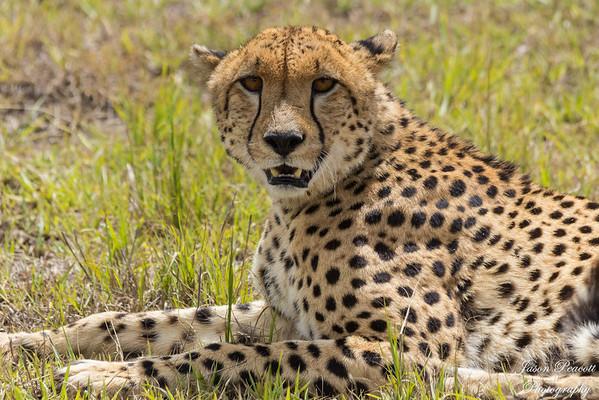 Cheetah in Masai Mara