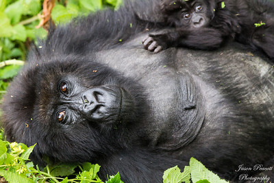 Mountain Gorilla Mother and Baby