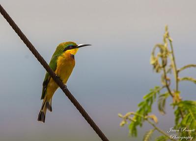 Kingfisher in Kenya