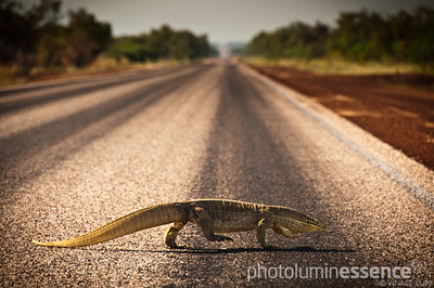 Why did the goanna cross the road?