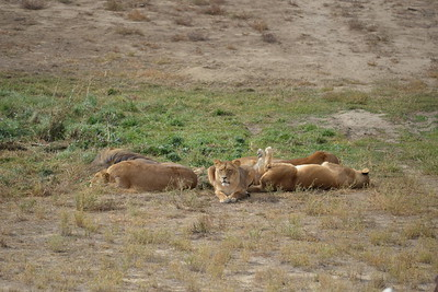 Paws Up!  AFRICAN LIONS FROM BOLIVIA