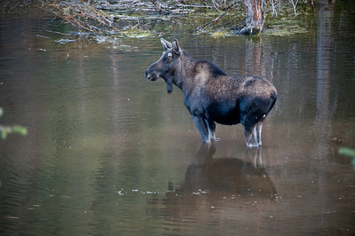Moose in the Winter Park Lake, Colorado