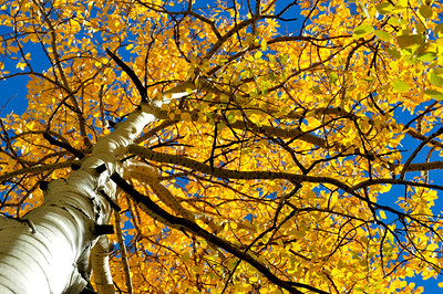 Aspen tree in the fall, Colorado