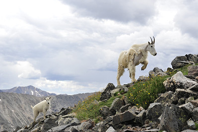 Mountain Goats on Mt Quandary.  I had my border collies, Sagan and Jake with me and the little billy was curious of them.