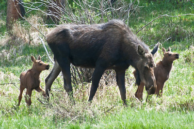 Moose family in Rocky Mountain National Park