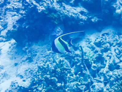 I think this is a Moorish Idol