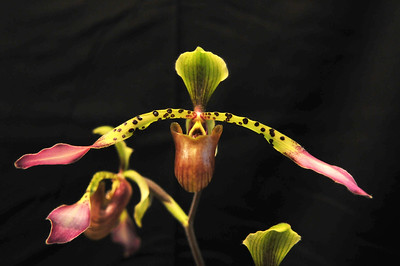 Orchid Paphiopedilum Hirsutissimum, another Himalyalan species has single very hairy (?) flowers up to 5.5 inches across.  The narrow leaves are keeled.