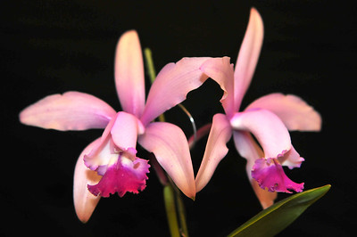 Orchid Pleione Preacox has flowers about 3 inches across.  Sepals and petals are slender and rose-purple to pink.  The lip is trumpet shaped and fringed.  Grows best in cool, high places.