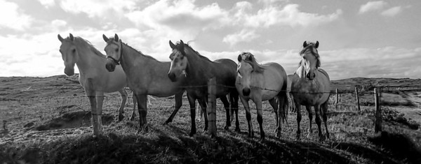 The beautiful horses of Omey Island!