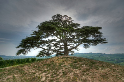 Cedar tree on a hill near La Morra Italy