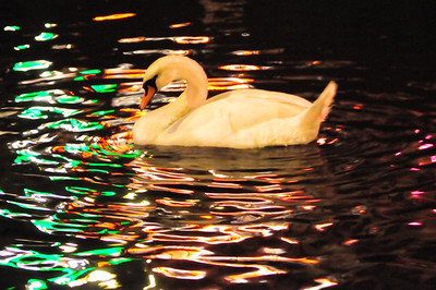 Evening Swan in the colorful river in Amsterdam, Netherlands