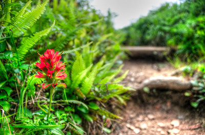 Happy Summer!  Indian Paint brush along Indian Beach Trail in Oregon :)