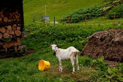 Swiss goat.. bahhh.