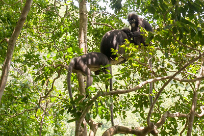 Dusky Leaf Monkeys in Ang Thong National Park