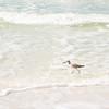 Little Bird Wading