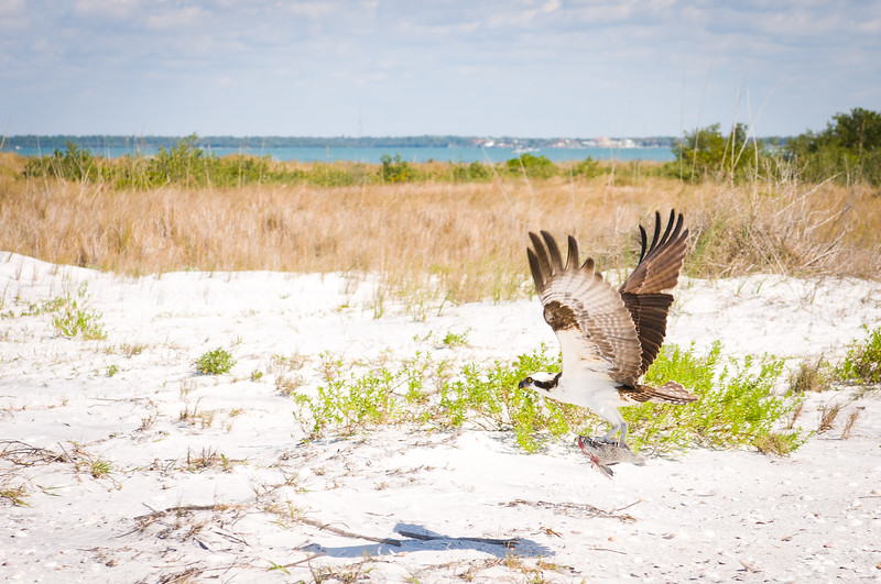 Birds At Play On Honeymoon Island