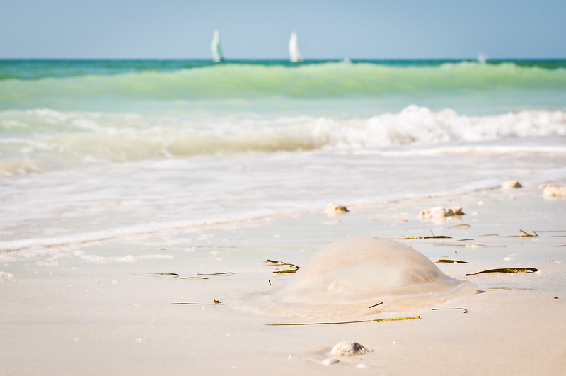 Jellyfish Ashore On Honeymoon Island