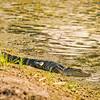 Aligator Sun Bathe